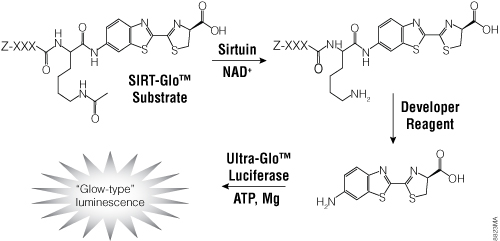 The single-reagent-addition SIRT-Glo™ Assay.