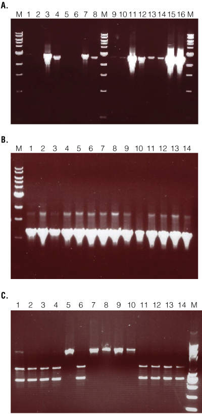 Validation PCR results for recombinant construct integration.